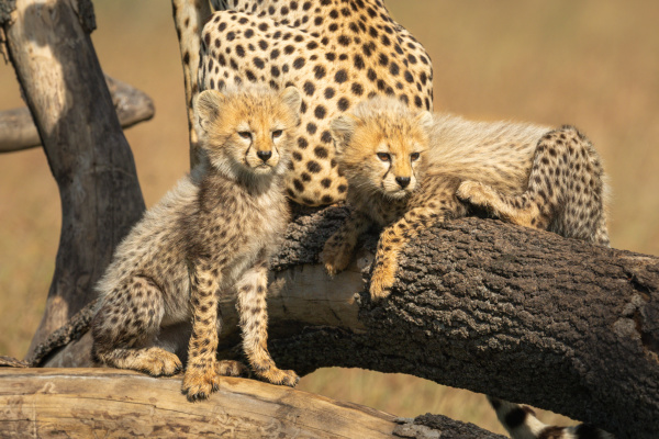 two cheetah cubs look right from