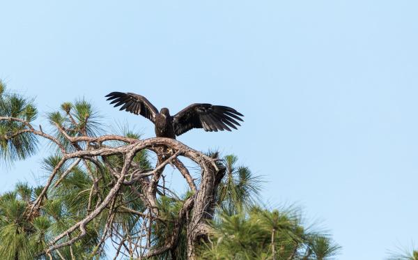 take off of juvenile bald eagle