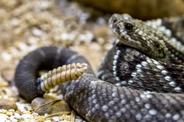 rattlesnake crotalus durissus