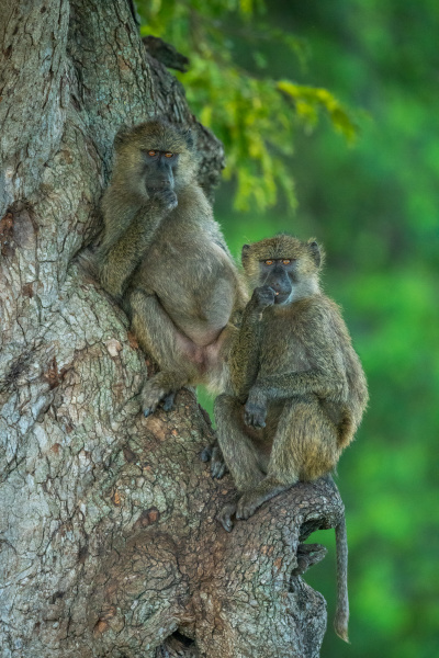 two olive baboons in tree facing