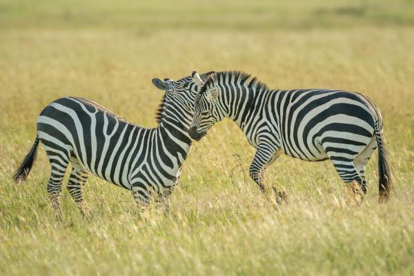 two plains zebra fight in long