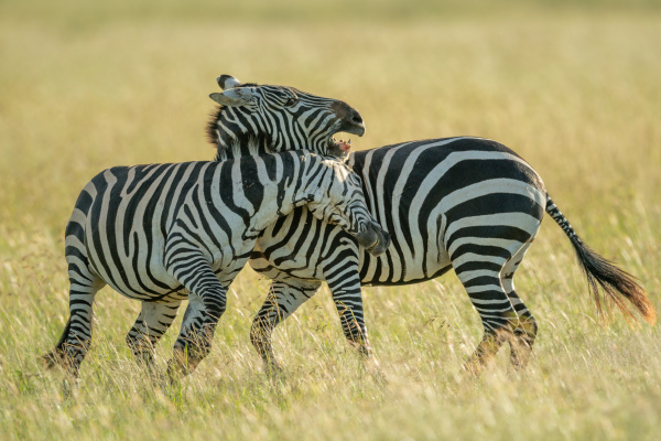 two plains zebra play fight in