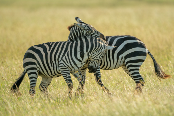 two plains zebra play fighting in