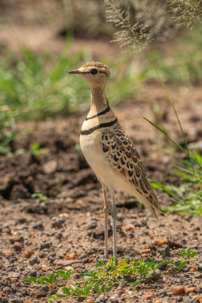 two banded courser stands by grass