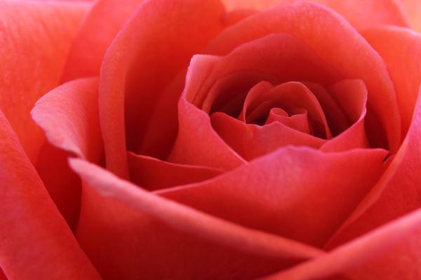 close up of a beautiful rose