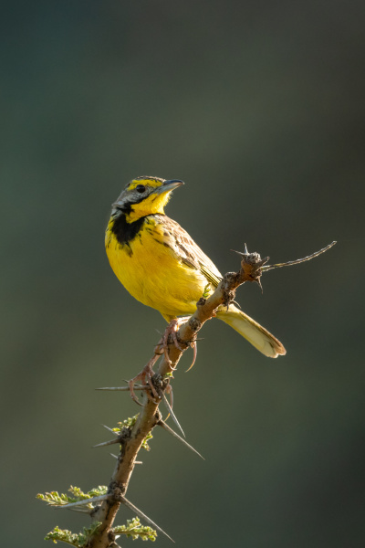 yellow throated longclaw on thorny branch