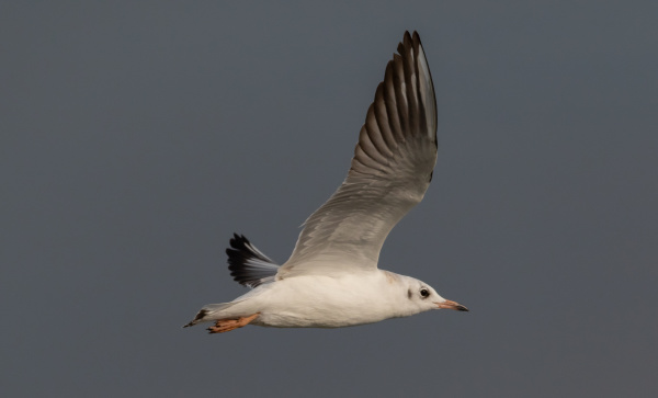juvenile black headed gull chroicocephalus ridibundus