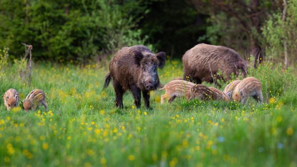 wild boar herd feeding in nature