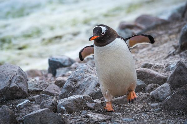gentoo penguin running through rocks using