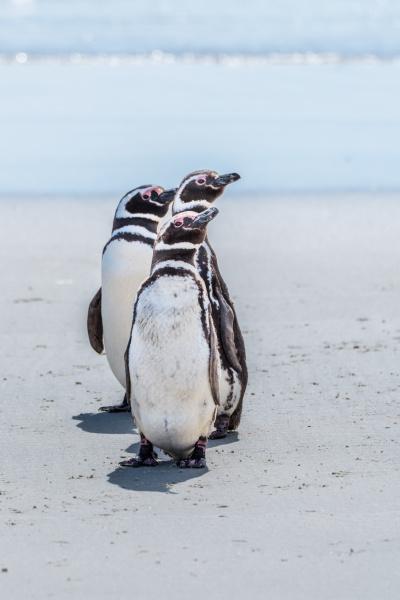 three magellanic penguins in line on