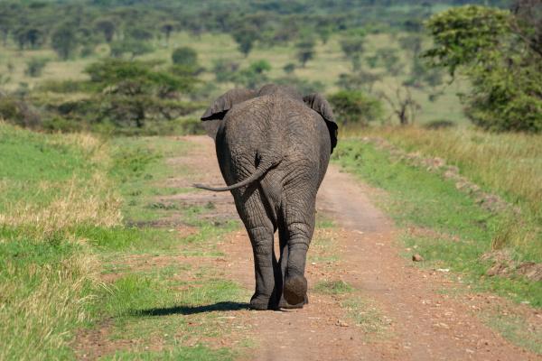 african elephant walks from camera swinging