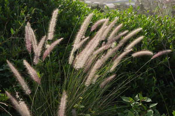 cats tail pennisetum setaceum in canaries