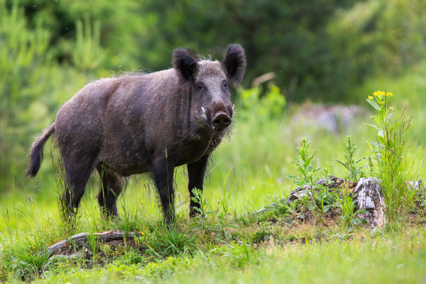 wild boar male with long white