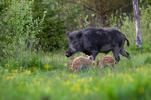 male wild boar with white tusks