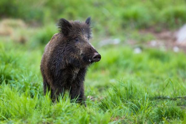 shy wild boar standing on a