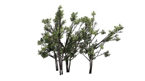 various common hazel bushs isolated