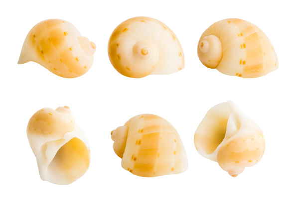 close up marine sea shell isolated