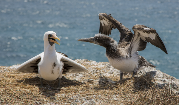blue footed booby baby learning to