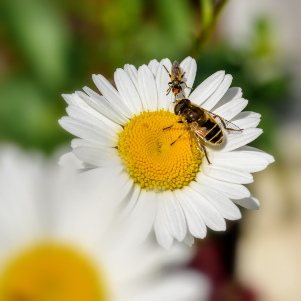 insects sit on a daisy close