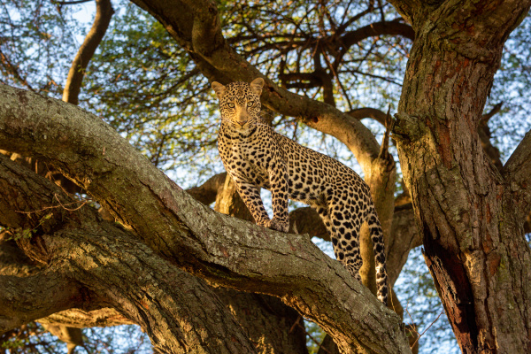 leopard stands on tree branch looking