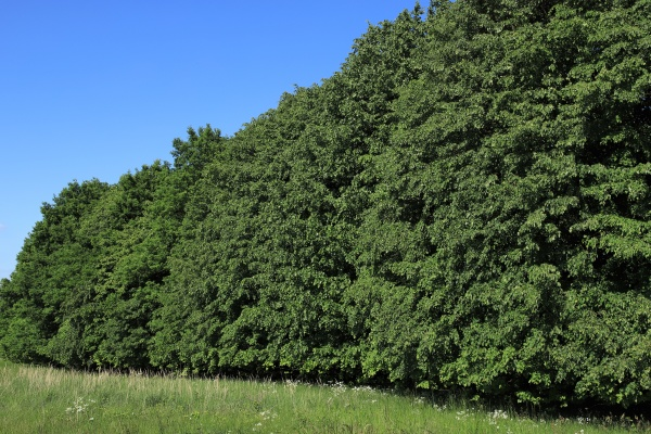 mixed deciduous forest in summer