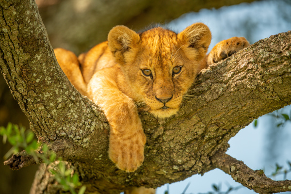 lion cub lies on branch looking