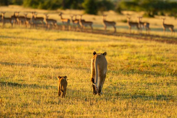 lioness and cub walk towards impala