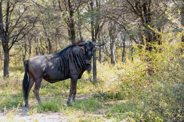 blue wildebeest in kalahari south