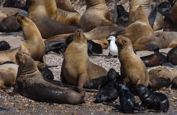 sea lion colony with young animals