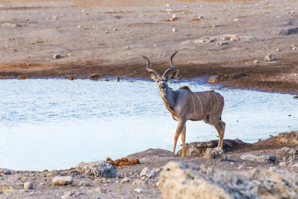 greater kudu africa safari wildlife and