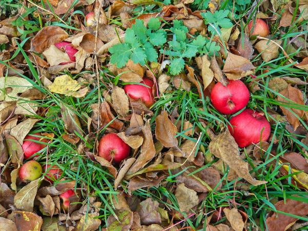 fallen apples in the garden