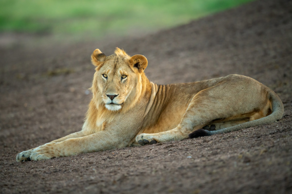 male lion lies on slope eyeing