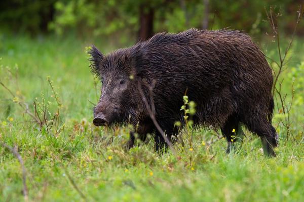 threatening wild boar going on glade