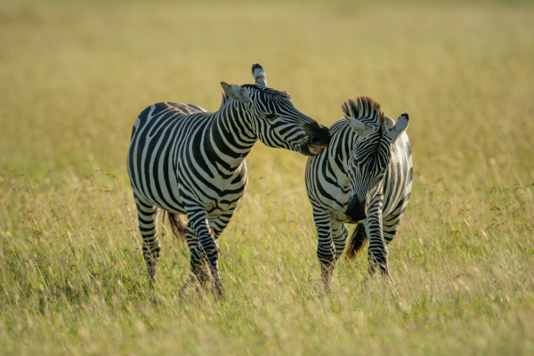 plains zebra in long grass biting