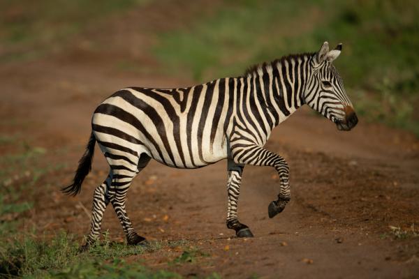 plains zebra lifts hoof crossing dirt
