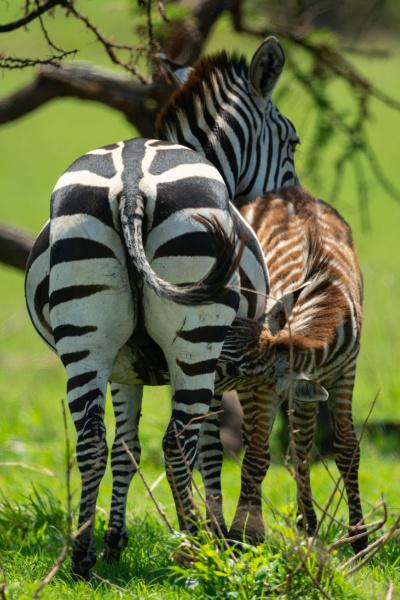 plains zebra nurses foal on grassy