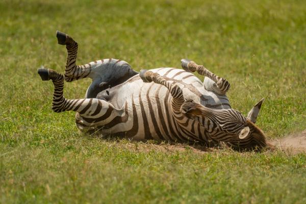 plains zebra rolls on grass in