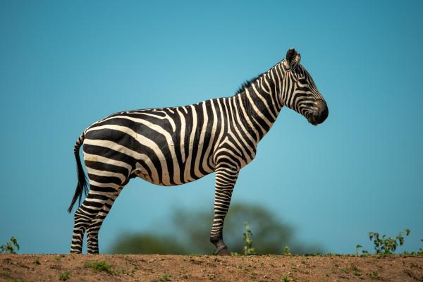 plains zebra stands on horizon on