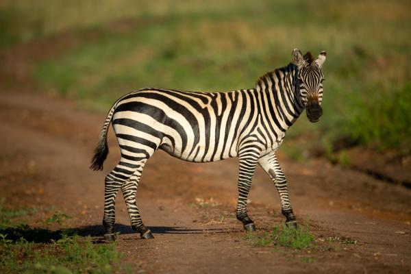 plains zebra stands on track eyeing