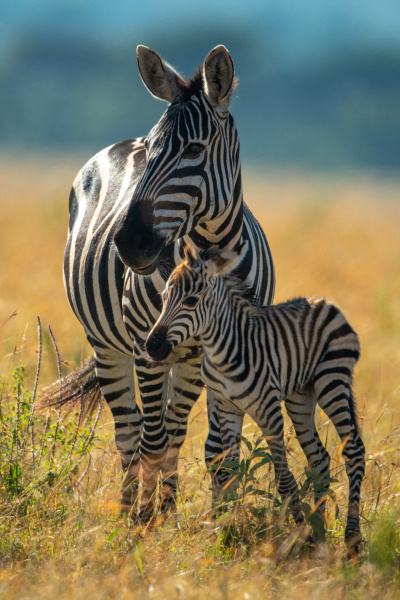 plains zebra stands with foal eyeing