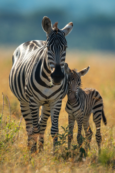 plains zebra stands with foal facing