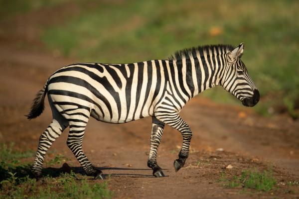 plains zebra trots across track in