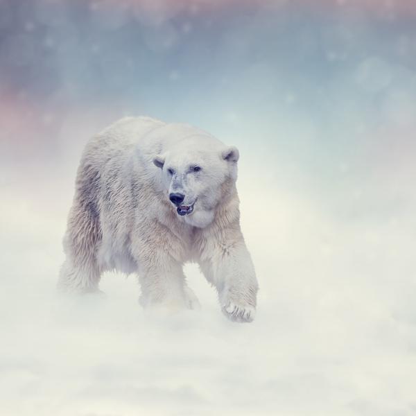 large polar bear walking on snow