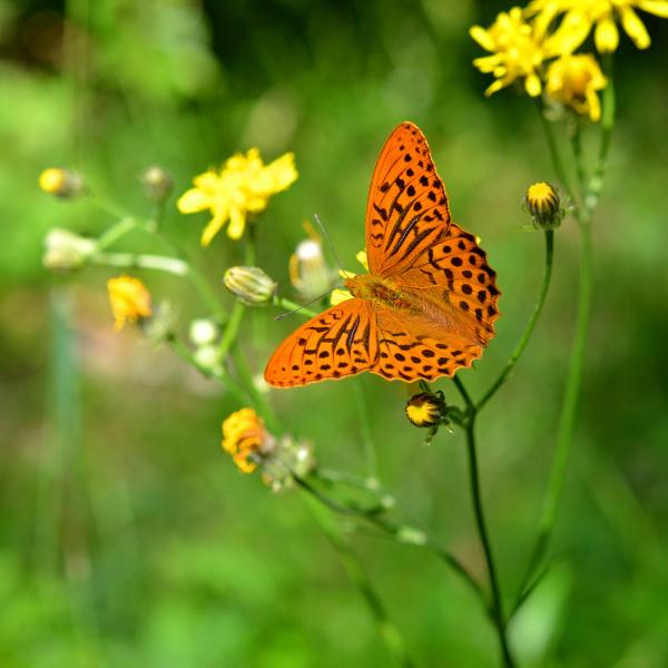 butterfly on a flower argynnis paphia