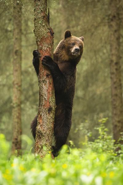 majestic brown bear climbing on tree