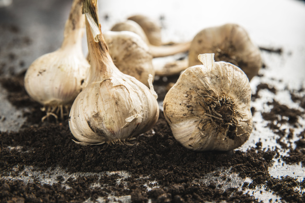 homegrown white garlic bio garlic