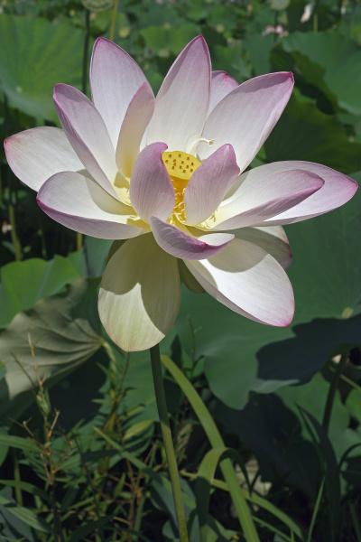 close up image of sacred lotus