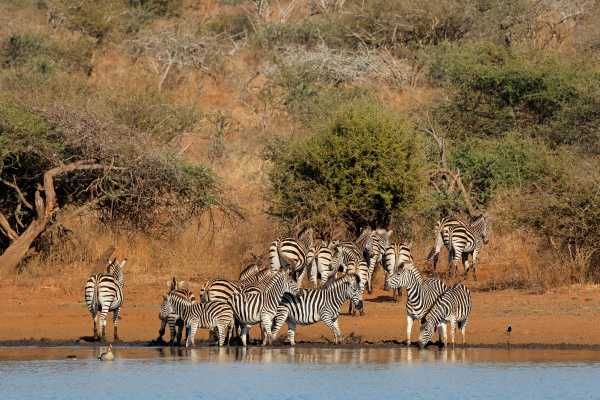 plains zebras drinking water kruger