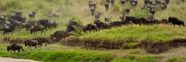 panorama of blue wildebeest heading towards