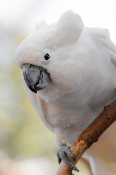 yellow crested cockatoo on a branch